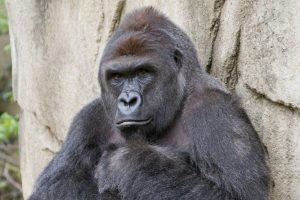 This 17-year-old male gorilla, Harambe, was shot and killed after he grabbed a 3-year-old child who fell into his exhibit.